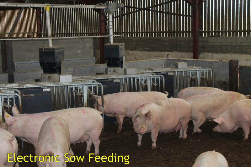 Electronic Sow Feeders